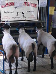 Dominion Livestock Company   Winners